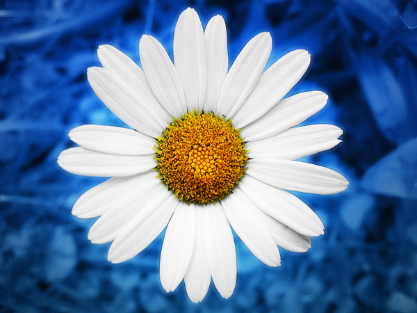 Daisy Flower Wallpaper