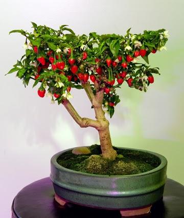 Westlandpeppers bonsai peper plant for Bonsai pepe