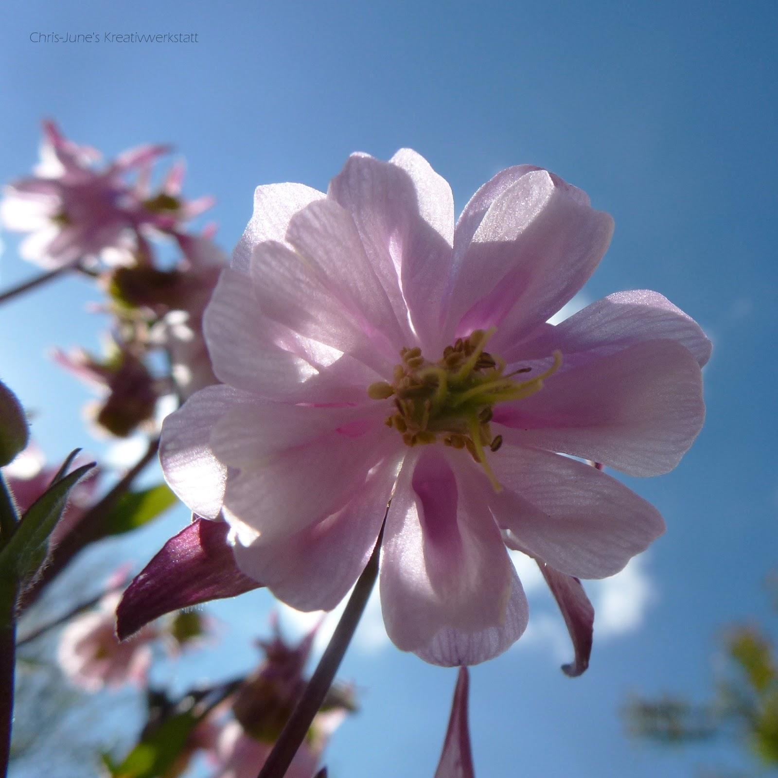 Akelei lila von unten