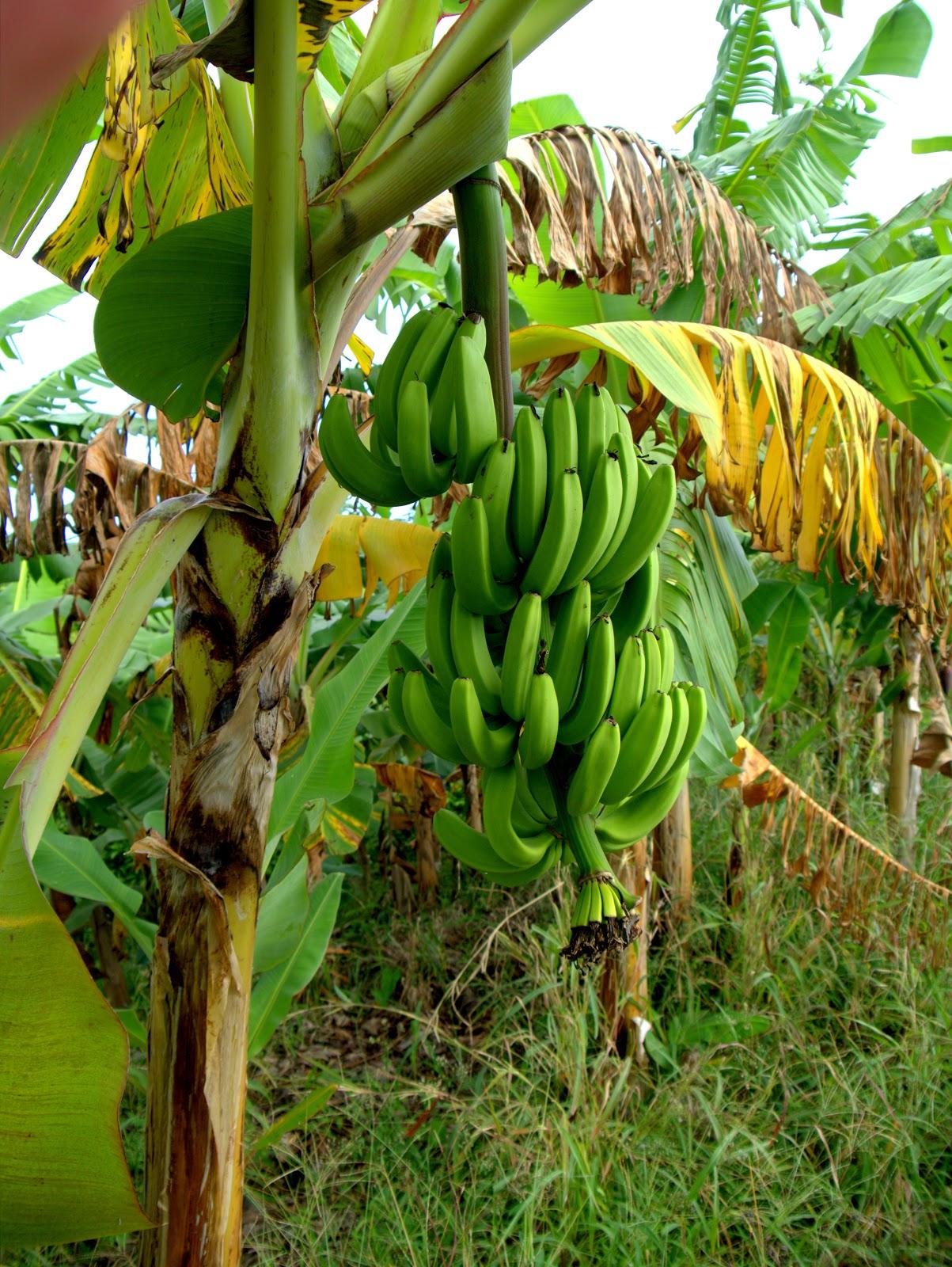 Как посадить и вырастить банан в домашних условиях 85