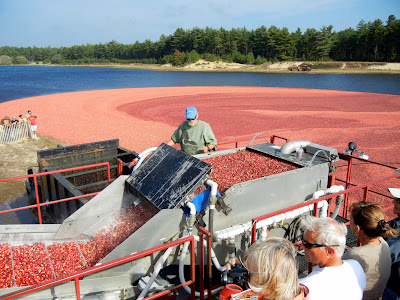 Cranberries being pumped onto a conveyor belt to be washed during wet harvest