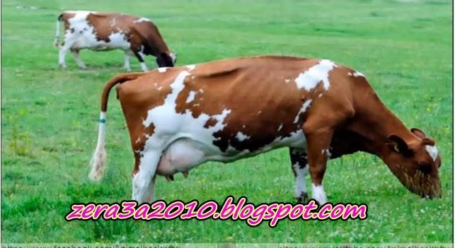 فيديو-مشروع إنتاج الألبان من الماشية