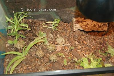 Terrario para tortugas rusas
