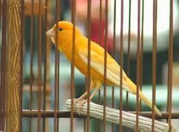 Ramuan Pakan Burung kenari agar cepat kicau