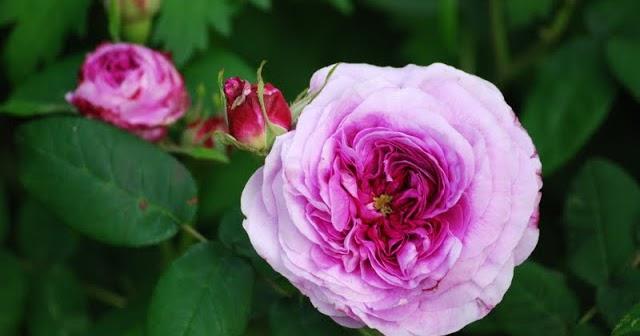Derri re les murs de mon jardin cinq roses parfum es - Derriere les murs de mon jardin ...