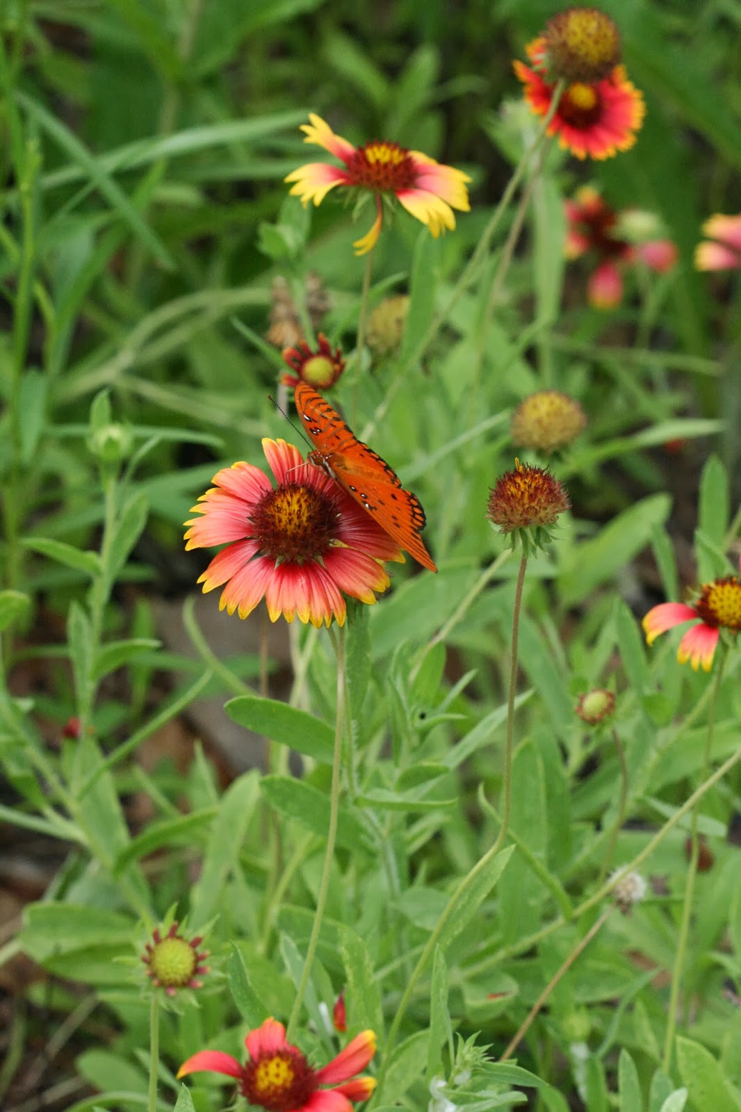 Native florida wildflowers blanketflower gaillardia pulchella blanketflower gaillardia pulchella mightylinksfo