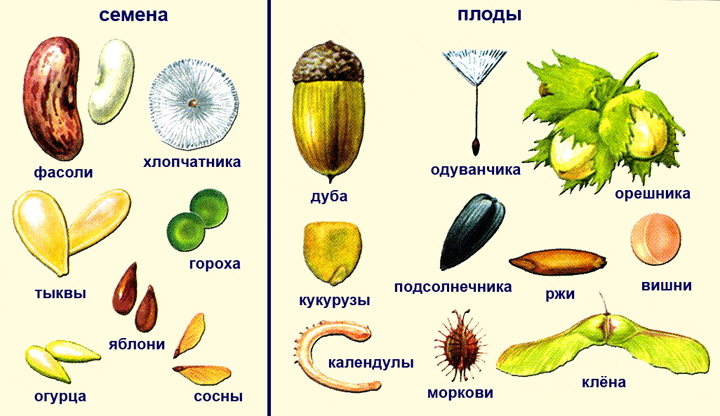 Яблоко и его семена