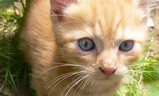 Gambar Kucing Ojos Azules
