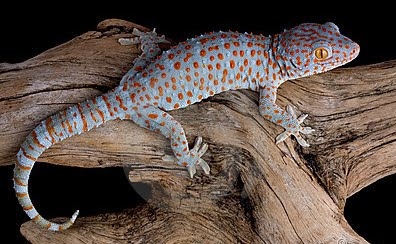 Secret of Gecko or Tuko is Scam?