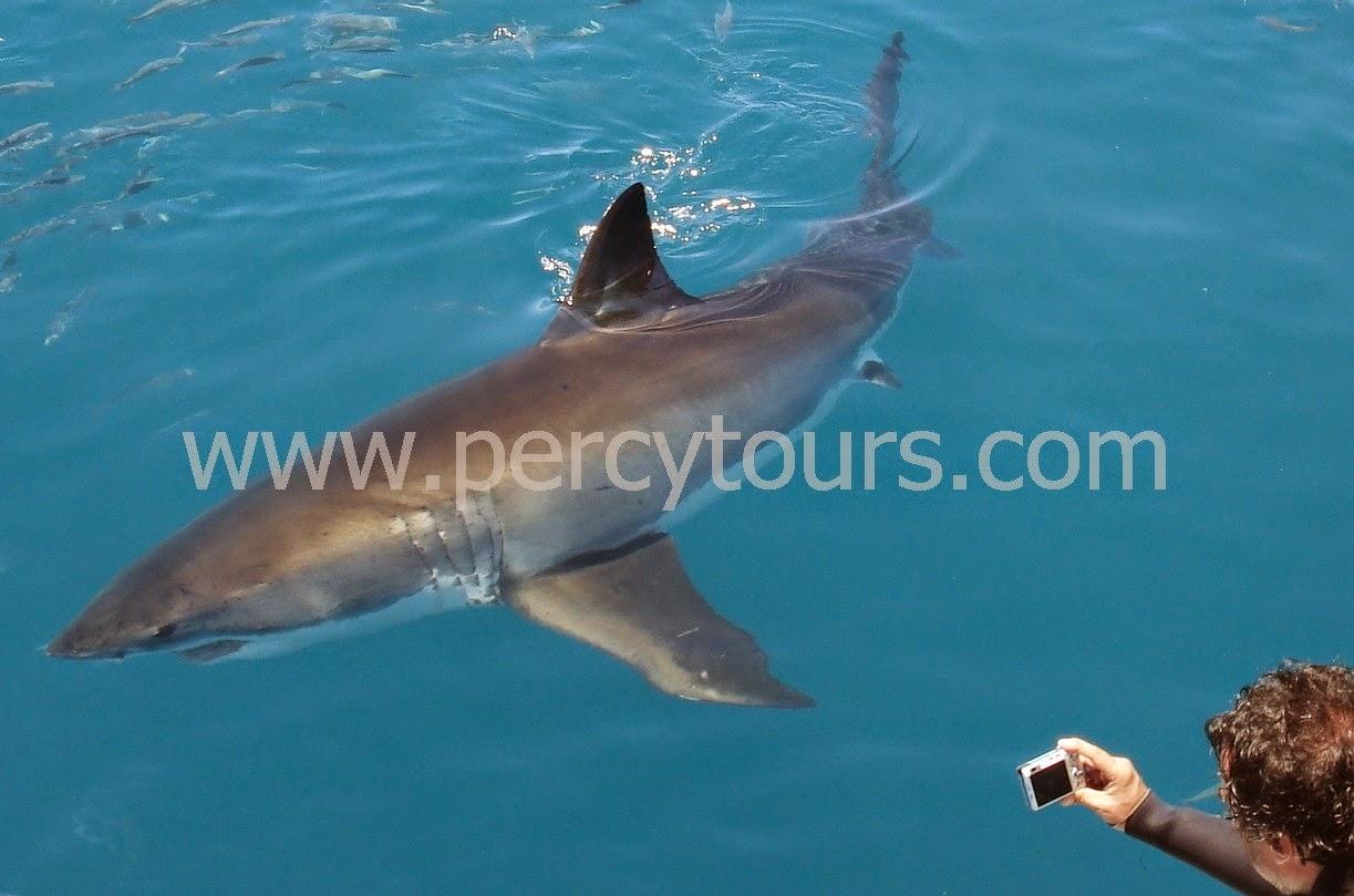 Great White Shark cage diving Hermanus