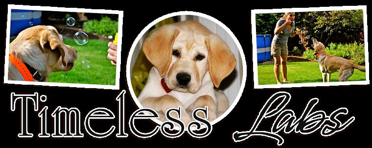 Timeless Labradors