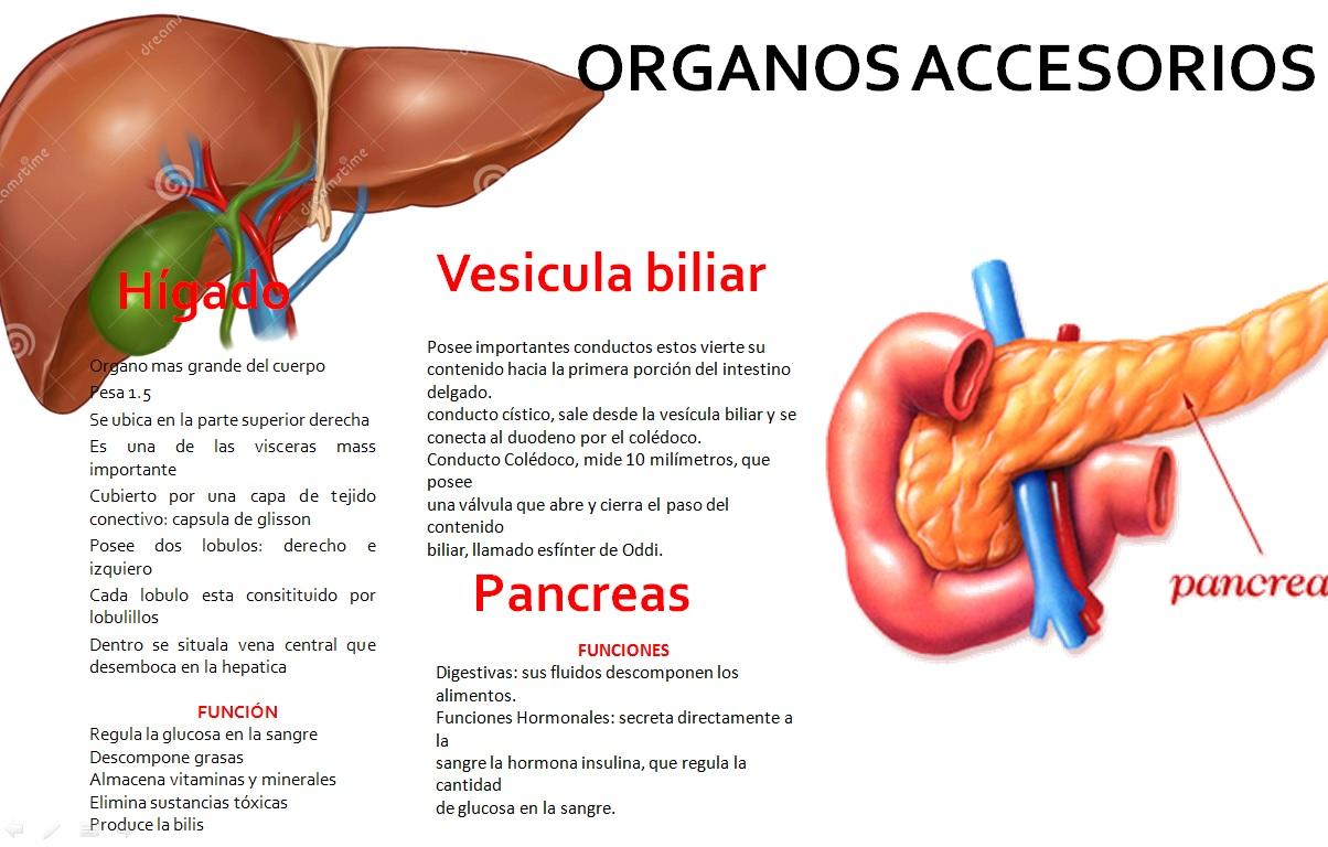 Hermosa órganos Del Sistema Digestivo Ornamento - Anatomía de Las ...