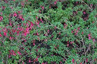 Download bush with pink flowers textures
