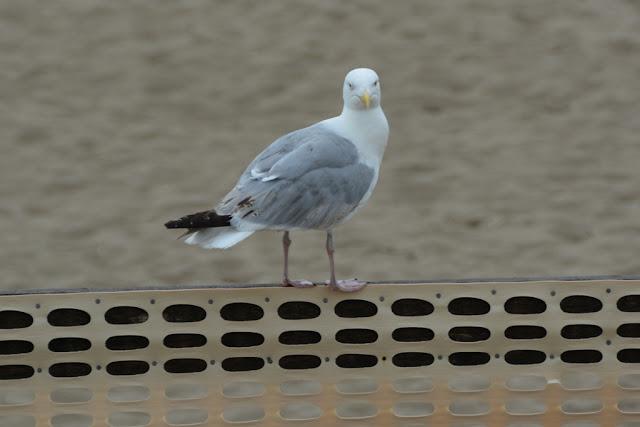 Blankenberge Pier Seagull Meeuw