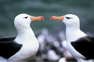 Antarctic Albatross