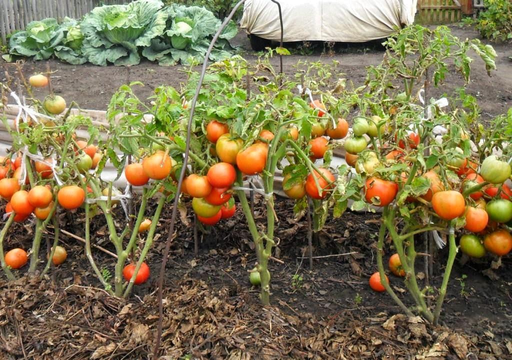 С чем не сажают помидоры 84