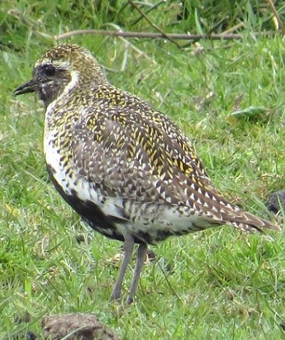 Golden Plover
