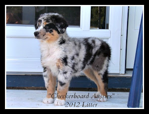 A Field Guide To Coloration of Australian Shepherds