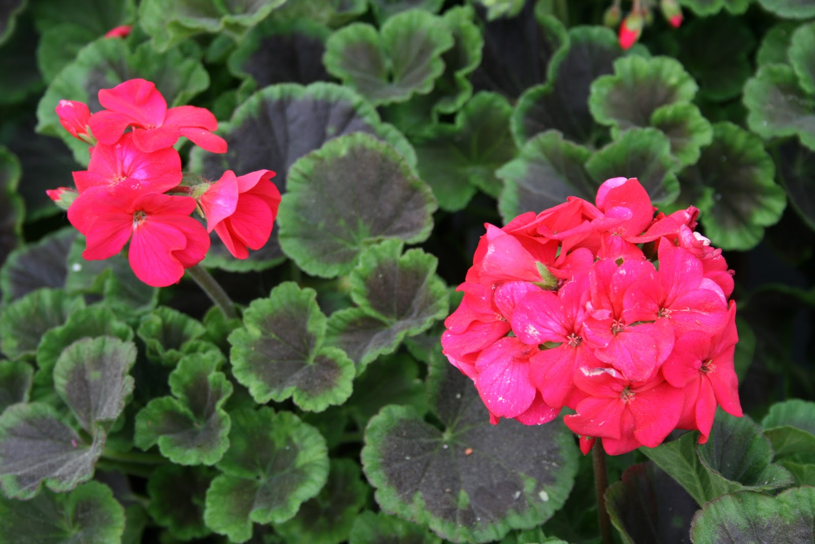 consider geraniums old lady flowers and I think many modern ...