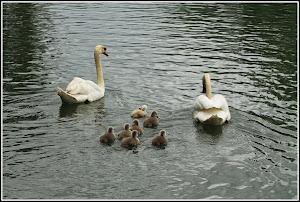 Cygnes et ses petits