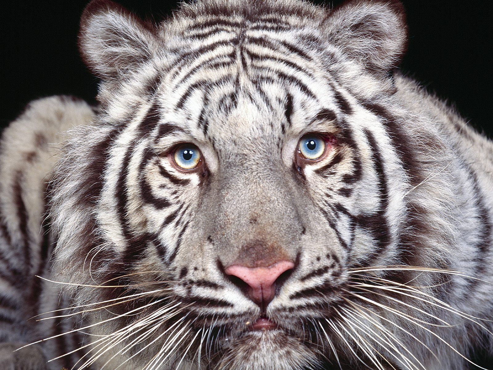 Baby siberian tiger wallpaper - photo#9