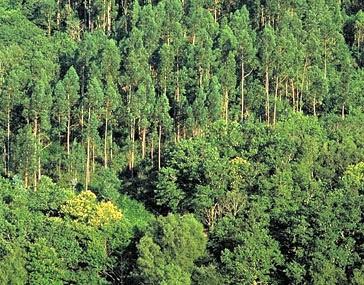 Millares baleira lugo el genocidio del bosque gallego for Plantas forestales