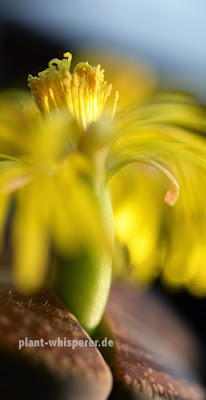 Close-up of a yellow Lithops lesliei flower, picture date 2014-09-30
