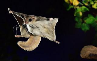 Uma espécie de esquilo de hábitos noturnos, que consegue planar até distâncias de 45 metros.