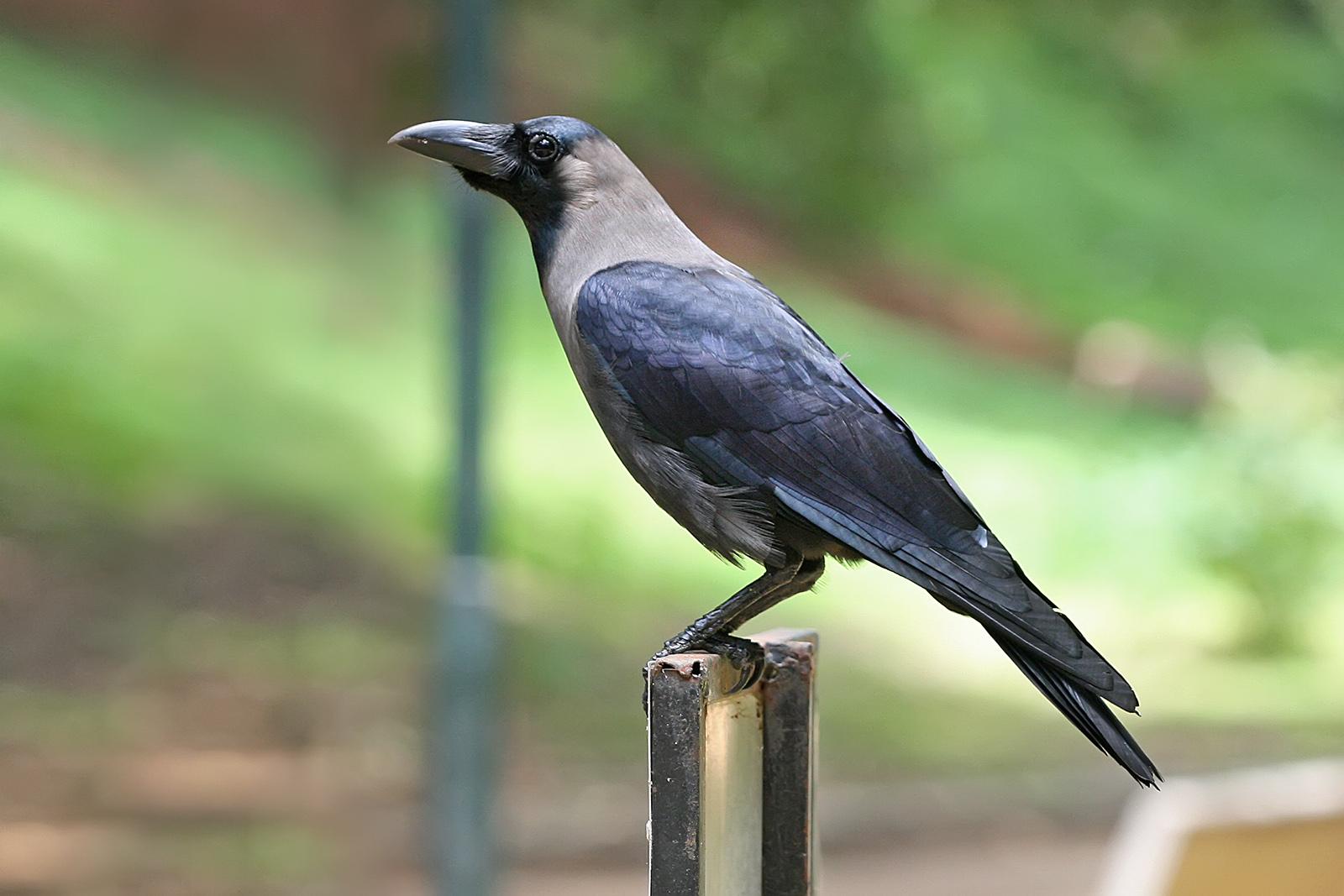 indian crow bird information