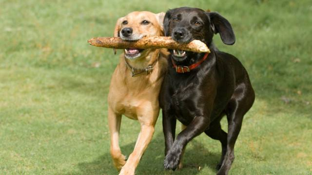 dogs as best friends, dogs playing fetch