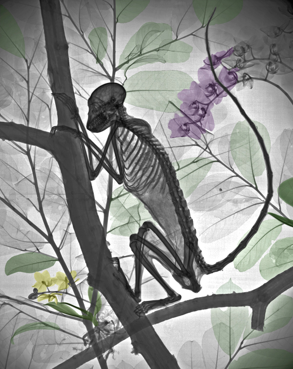15-Monkey-Arie-van-t-Riet-Colored-X-ray-Photographs-of-Nature-www-designstack-co