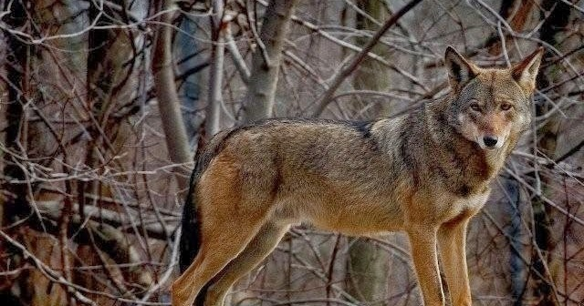 Red Wolf Howling White Wolf : Red Wolf ...