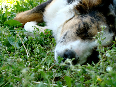 australian shepherd puppy dog taking a nap at the farm during lunch time