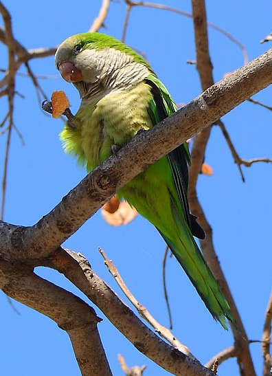 Green parakeet (Aratinga holochlora) eating a piece of bread