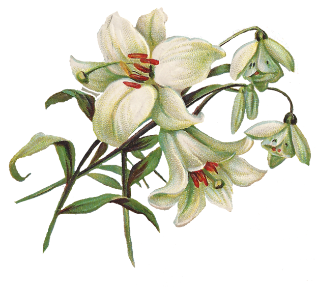 Leaping Frog Designs: Vintage Clip Art Lily And Snow Bells PNG Image: leapingfrogdesigns.blogspot.com/2012/01/vintage-clip-art-lily-and...