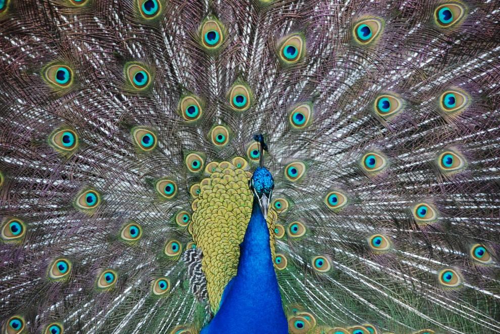 ����  ����� ������ �� ������ ������� ���� peacock-990x662.jpg
