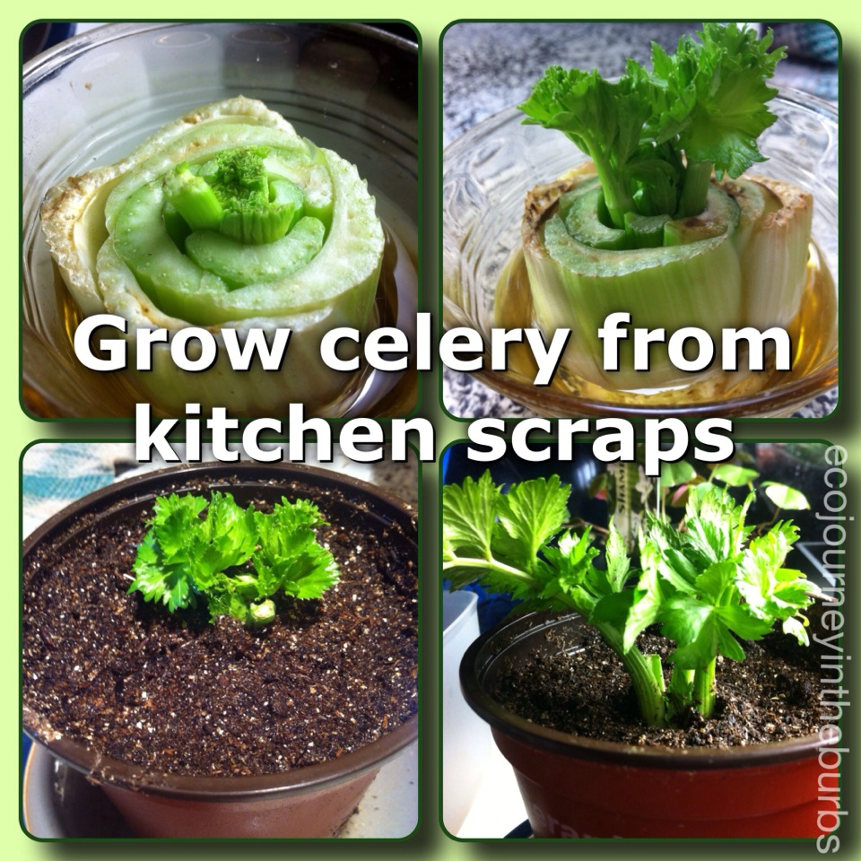 Grow Vegetables From Kitchen Scraps: Eco Journey In The Burbs: DIY Celery