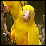 Arara Amarela aceita o meu amor?