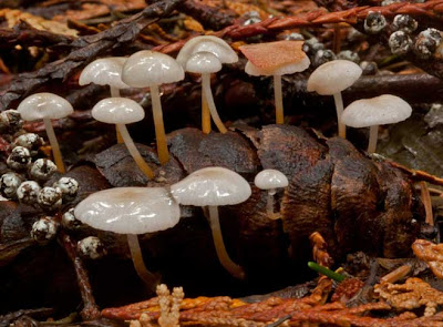 a group of tiny white Strobilurus trullisatus cone-dwelling mushrooms on a Douglas-fir cone.