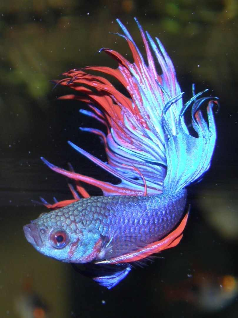 Bird flower and fish siamese fighting fish for Japanese fighter fish