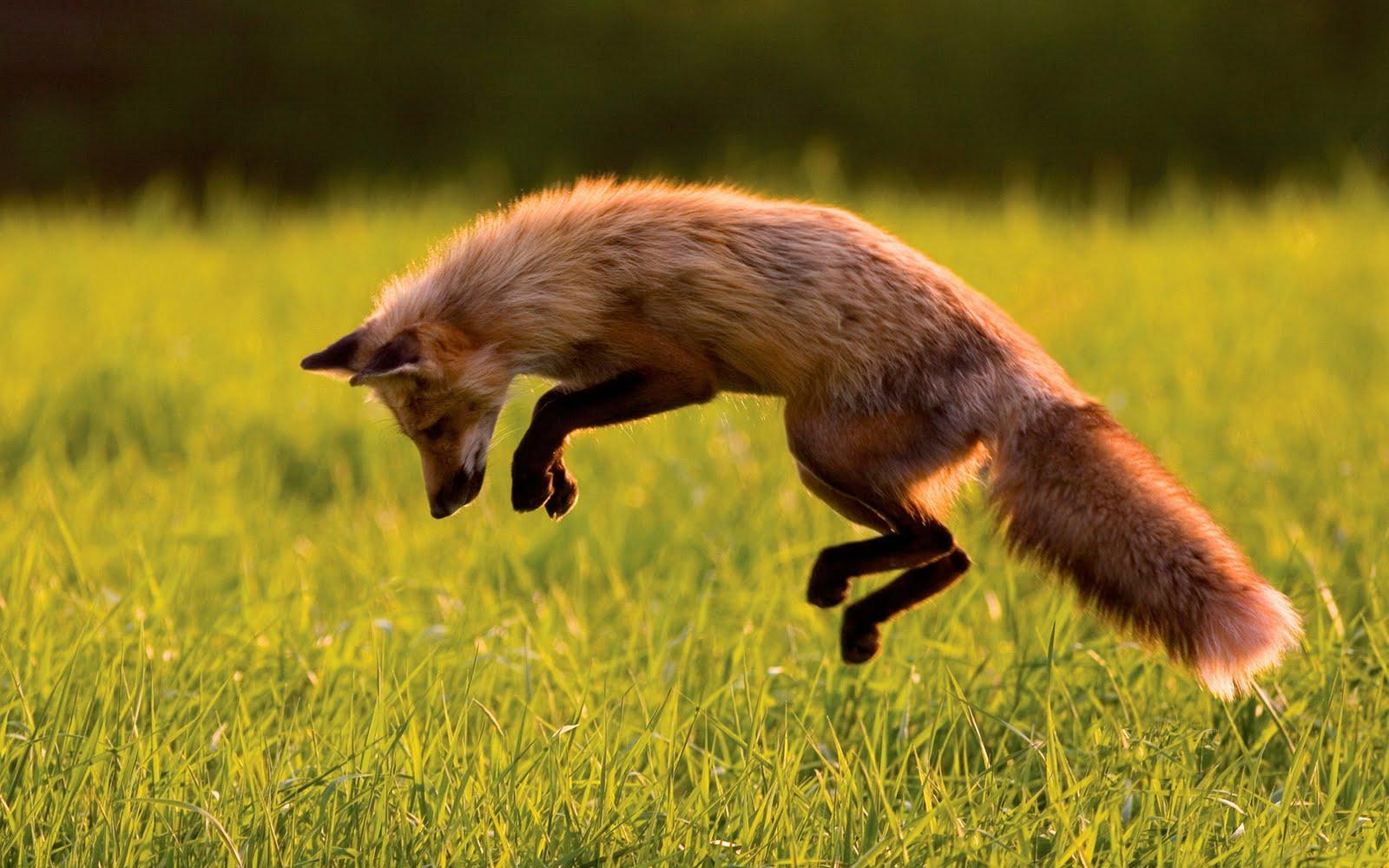 http://2.bp.blogspot.com/-WL4EQBveI10/TmIZr6PhsSI/AAAAAAAAADw/OUMt50znVL8/s1600/jumping-fox.jpg