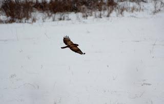 Sorecarul comun iarna wild photography Romania