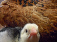 Baby chick next to mother