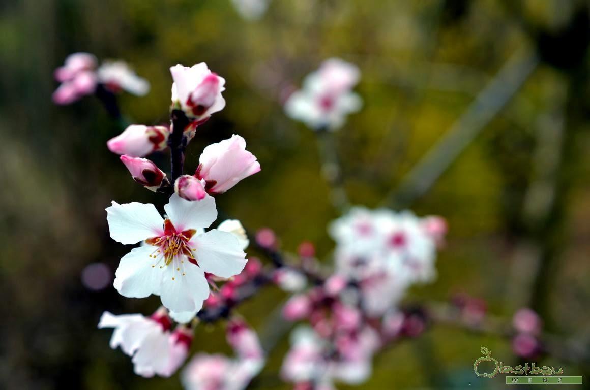 Mandel in der Blüte