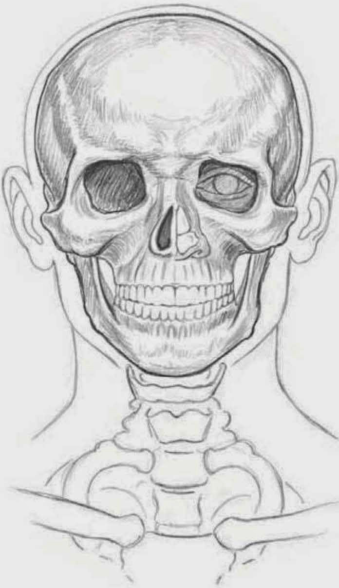 Drawings Understanding Facial Anatomy