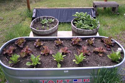 Lettuce Starts, April 27th