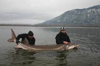 World's Largest Sturgeon Ever Caught
