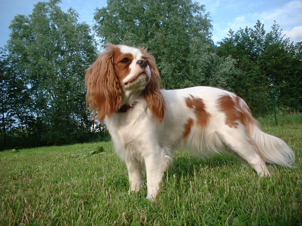 39 Cosas Curiosas Que Quizas No Sabias 38437 furthermore 3015 476 as well G 6mfn4j2t16f5hg0lahpuha0 together with Chinese Vs Western Astrology besides Cavalier King Charles Spaniel. on animal intelligence ranking