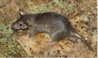 Tips cara mengusir tikus yang ampuh