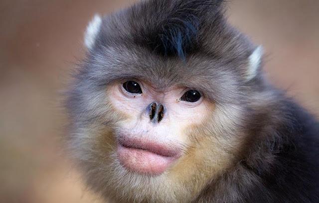 Mono de nariz chata, animales desconocidos